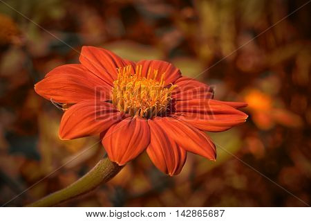 Stunning bright orange Mexican Sunflower in focus against muted background of autumnal colors