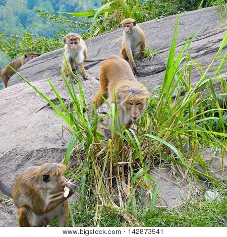 male monkey and his family in the wild