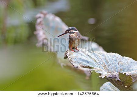 Common Kingfisher Alcedo atthis Female on lotus leaf