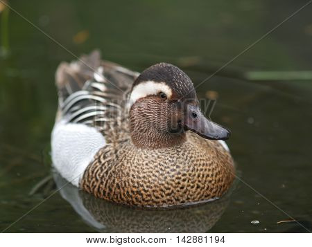 Male of garganey duck on the lake - Anas querquedula