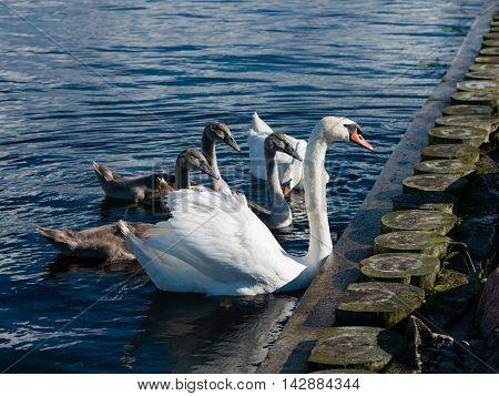 White and Grey Swan family of five on blue water