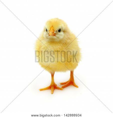 Chicken - baby bird isolated on white