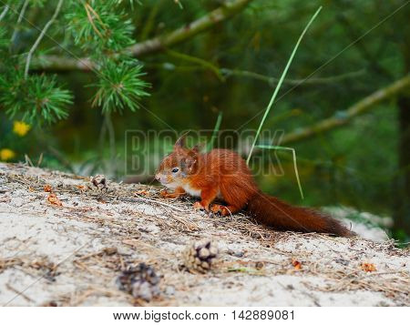 tricky look cute squirrel on natural forest backfround