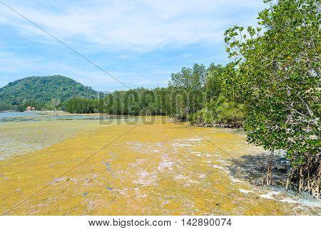 Algal bloom in a tropical ocean and mangrove forest Thailand