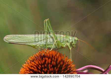 A Great Green Bush-Cricket (Tettigonia viridissima) on a flower.