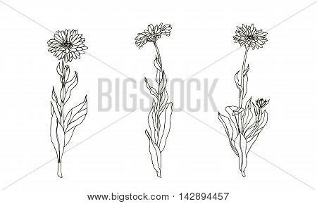 Set of medicinal plant. Black and white calendula vector. Hand drawn illustration.