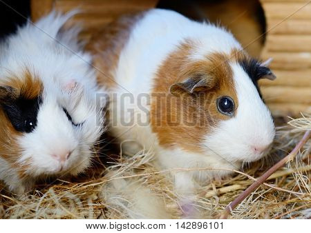 Cute Red and White Guinea Pig Close-up. Little Pet in its House