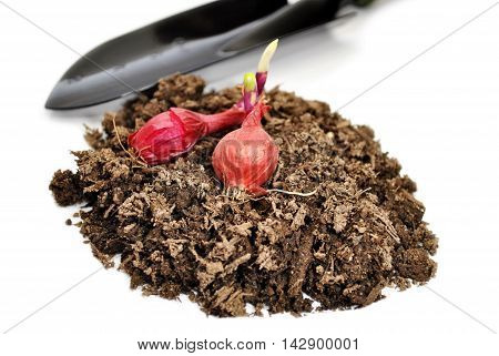Red Onion Bulbs on Garden Soil with a Spade Shovel