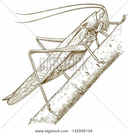 Vector antique engraving illustration of grasshopper isolated on white background