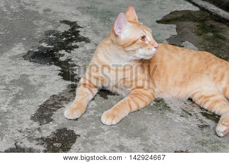 Orange cat on the floor and resting. Cat Thailand beautiful and look backward.