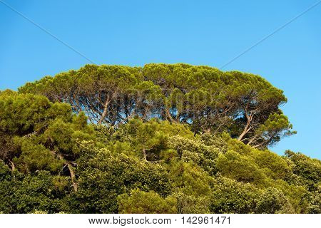Detail of maritime pines (pinus pinaster) with trunk branches and green needles on blue clear sky
