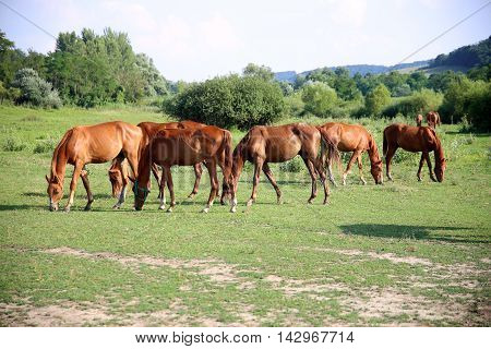 Idyllic scenery with thoroughbred anglo-arabian grazing horses