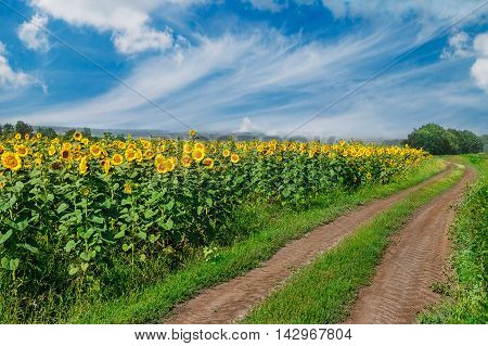 Summer road. Summer landscape with field of sunflowers and dirt road. Rural landscape of empty road near sunflower field at summer day. Sunflower field road. Road running through a sunflower field