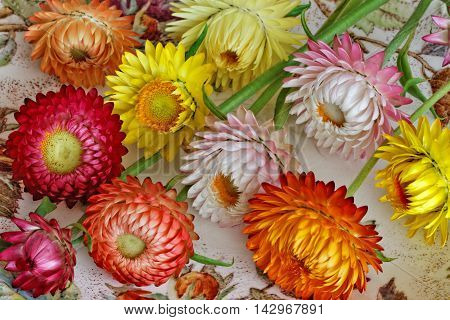Various Strawflowers with Different Colours and Forms