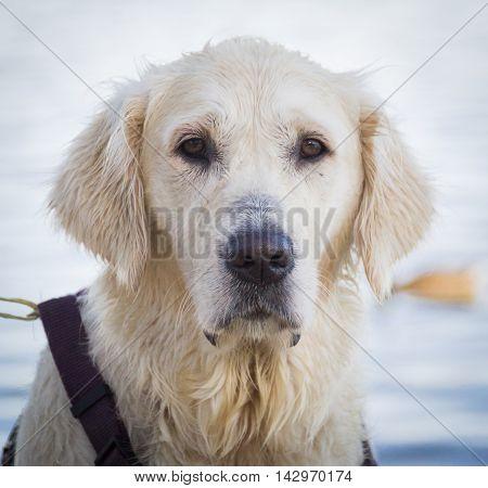 Pensive Golden Retriever Dog