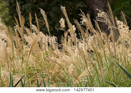 Closeup of flower heads of ornamental grass, Miscanthus sinensis, growing in the garden in Australia
