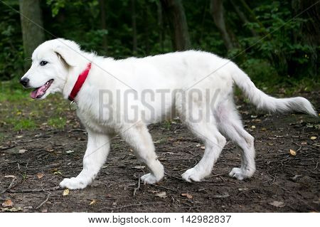 Young Maremma or Abruzzese white Sheepdog puppy walking in public park