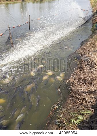 Oreochromis niloticus fish on pond in country Thailand