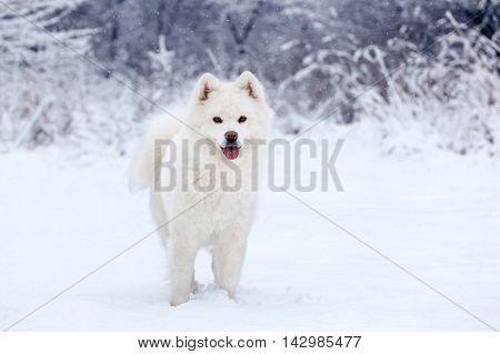 White dog Samoyed walks through the beautiful winter forest