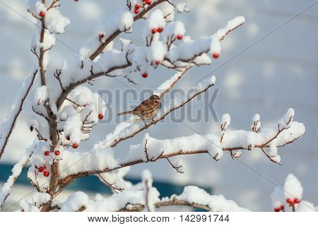 Song sparrow (Melospiza melodia) resting on a hawthorn tree covered in snow