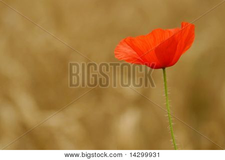 Red summer poppies