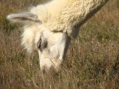 Close-up photo of a white alpaca peacefully grazing. poster