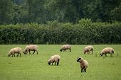field of grazing sheep poster