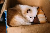 The Small Size Mongrel Mixed Breed Long-Haired White And Red Adult Dog With Prick-Ears Lying Curled Up On Underlay In Cardboard Box poster