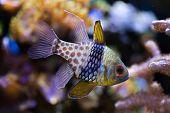 Pajama cardinalfish (Sphaeramia nematoptera), also known as the spotted cardinalfish. Sea life.  poster