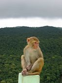 Monkey sitted on a rock in front a a tropical jungle - Mont Popa - Myanmar. **Note slight graininess,  best at small sizes. poster