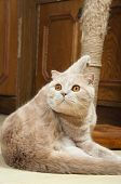 scottish fold purebred red cat on play portrait poster