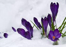 Purple Crocuses Poking Through The Snow In Springtime