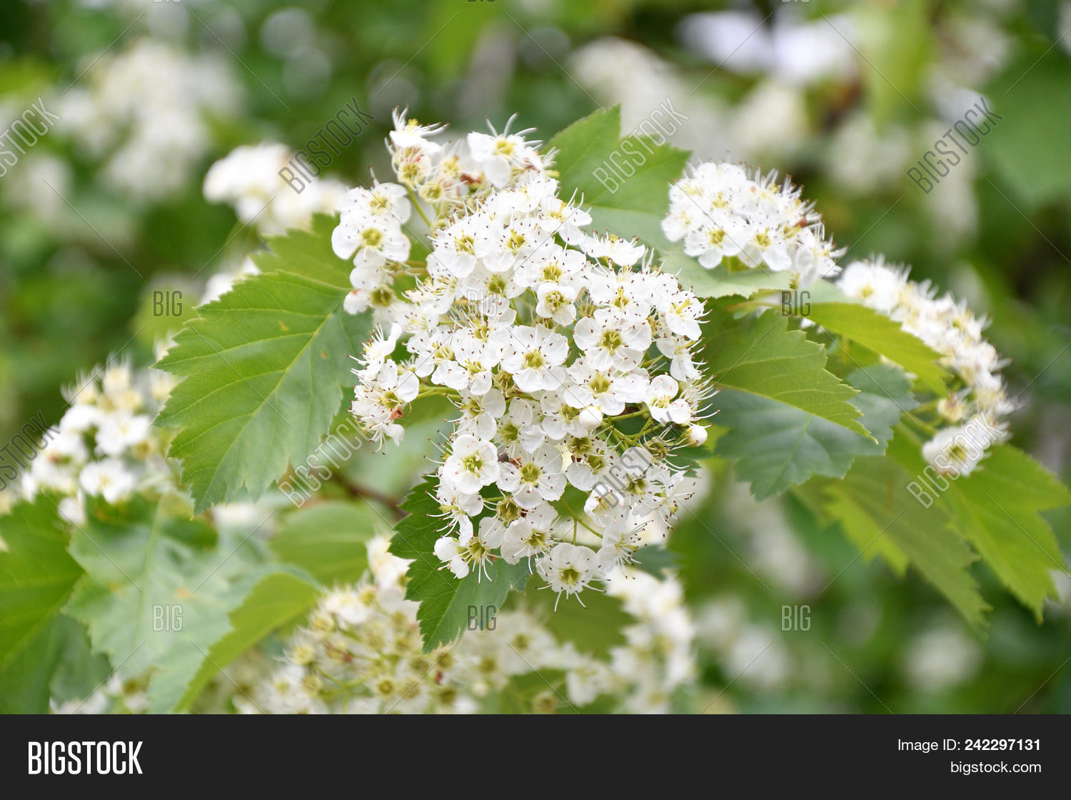White Hawthorn Flowers Image Photo Free Trial Bigstock