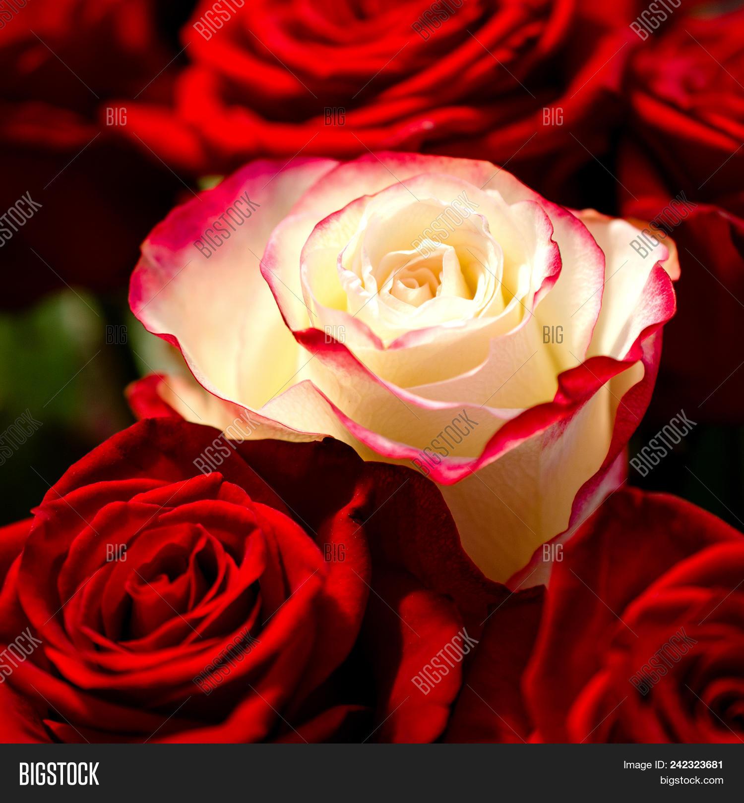 Macro Photo White Rose Image Photo Free Trial Bigstock