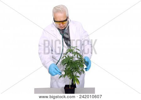 A Medical Marijuana Doctor poses with one of his Cannabis Plants. Isolated on white. Room for text. Dr. Sativa is a world famous Medical Marijuana Doctor.