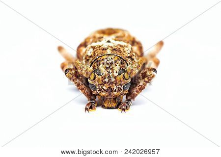 Beetle, Shield Bug Isolated White Background Which Belong To The Scutelleridae Family And Are Actual
