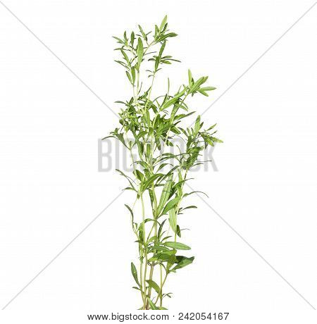 Colorful And Crisp Image Of Summer Savory Isolated On White