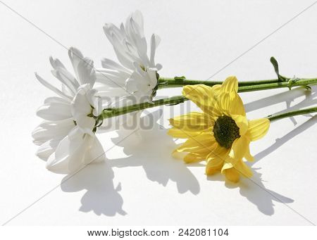 Three Beautiful Daisy Flowers With Amazing Shadows On A White Table. High Key Style Still Life With