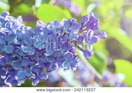 Summer Background With Light Purple Lilac Flowers In Summer Garden. Blooming Summer Lilac Flowers Li
