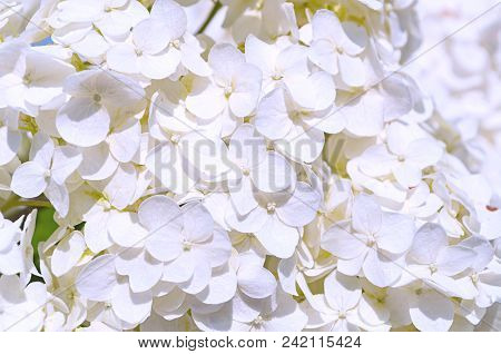 Flower Summer Background With White Hydrangea Flowers Blooming In The Summer Garden. Closeup Of Whit