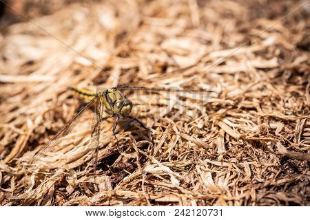 Big Yellow Draginfly Which Is Perched On Dry Grass
