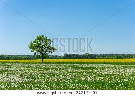 Single Tree Between Meadow Full Of Faded Dandelions And Yellow Rapeseed Field
