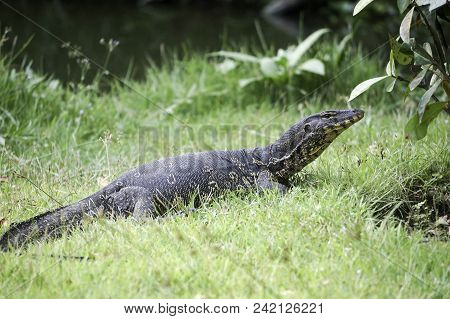 A Monitor Lizard In The Jungle In Thailand