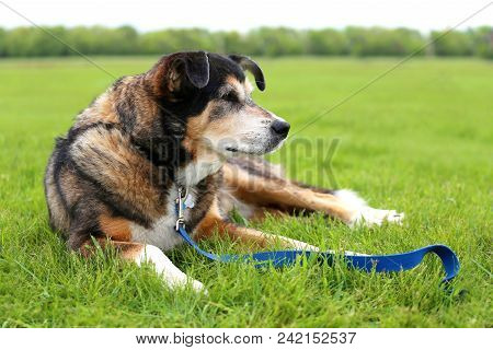 An 11 Year Old Senior Aged German Shepherd Border Collie Mix Breed Dog Is Laying Outside In The Gras