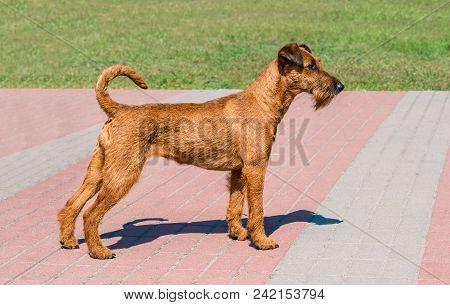 Irish Terrier Profile.  The Irish Terrier Stands In City Park.