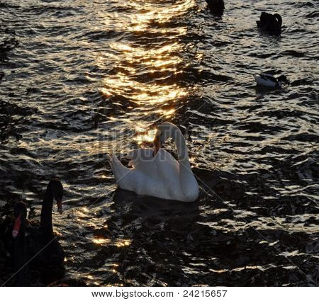 Swan on the water in the evening