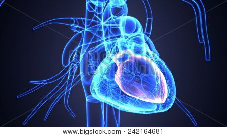 3d Illustration Of Royalty Free Human Heart Pictures