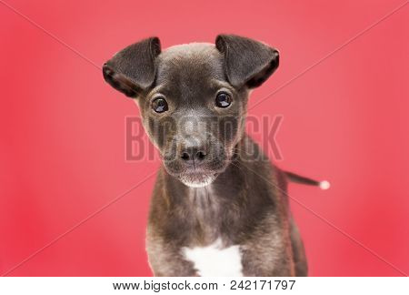 Cute Puppy. Rescued Mutt. Pink Background. Funny Ears