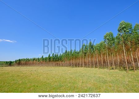 Plantation Of Eucalyptus Trees For Paper Or Timber Industry, Uruguay, South America. This Kind Of Mo