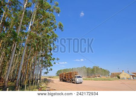 Logging Truck With Eucalyptus Log For The Paper Or Timber Industry, Uruguay, South America. This Kin